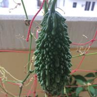 初収穫と害虫退治