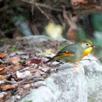 12/03探鳥記録写真(瀬板の森の小鳥たち:ソウシチョウ、アオジ、シロハラ、ジョウビタキ、ルリビタキ他)