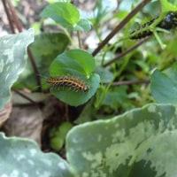 ミドリヒョウモンの幼虫みつけ
