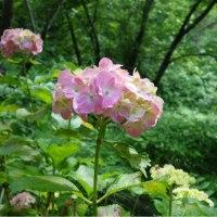 梅雨入り宣言したものの「空梅雨」紫陽花は雨を待っています