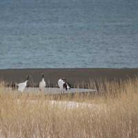 鳥撮り日記ータンチョウツル
