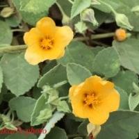 庭の花・コナ