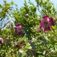 花菜ガーデン;梅雨の合間の<遅咲きクレマチス>