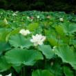 沢観音寺の蓮の花