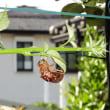 我が家の昆虫日誌