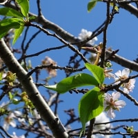 十月桜ほころぶ