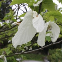 「おはようの花」 ハンカチの木 5月