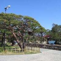 みちのく桜旅 5・・・松島