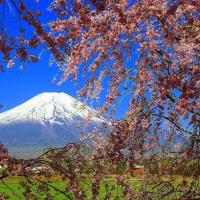 富士山を背景に咲き溢れる桜