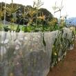 トウモロコシのジャングル状態から解放!