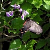 フジの花のジャコウアゲハの動き