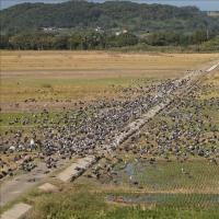 出水市の鶴の飛来地 1