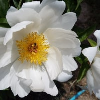 遅ればせながら「牡丹の花」が初めて咲きました。