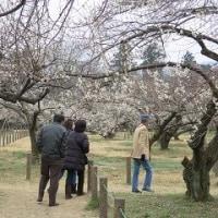 関東三大梅林の越生梅林