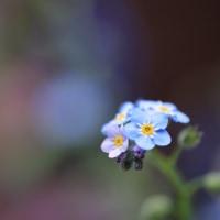 ●我が家の4月の花(6)越後雪椿・花見笠 忘れな草 マーガレット 葉牡丹の花 ハナミズキ