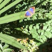 この蝶は綺麗だ。