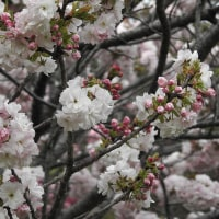 柏の葉公園周辺の野鳥_マガモ(真鴨) プラス柏の葉公園のサクラ・・・フクロクジュ(福禄寿)
