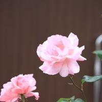 いつものバラ