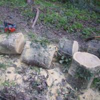 桑の木の薪割り