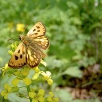 世界一美しいセセリチョウ、美麗カラフトタカネキマダラセセリ激写。