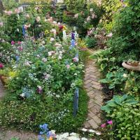 雨の朝に芍薬が花開いた。