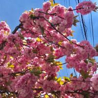マルシェと桜と「常盤井」?