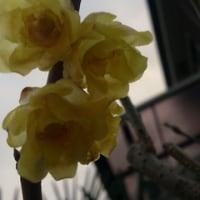 「蝋梅」の花・・・
