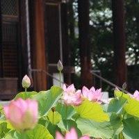 喜光寺の蓮