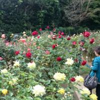 鎌倉文学館に秋バラを見に行きました。
