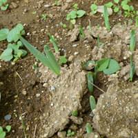 土を割って、水仙の葉芽でる。