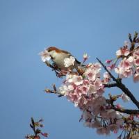 春を銜えて~ニュウナイスズメ~