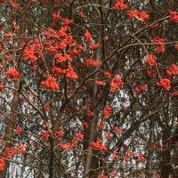 ナナカマドはすっかり葉が落ちて!