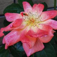我が家、5月の薔薇より