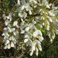 白藤の花が咲きました!!