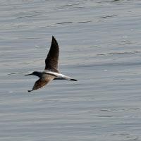 多摩川に旅鳥アオアシシギ