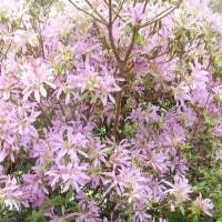 母屋の庭の花