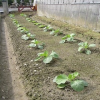 追肥と土寄せ