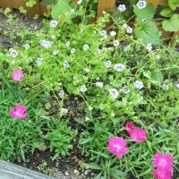 お花の観察記録6月