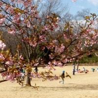 都立狭山公園2017年の早春・・太陽広場の桜