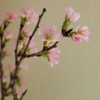 立春と桜の花♪
