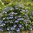 えっ‼️紫陽花満開⁉️ 避暑地・田舎に帰りました。