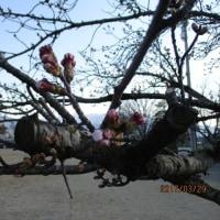 2017.03.29 (水) 桜