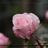 ロサ・ベルモンテようやく開花