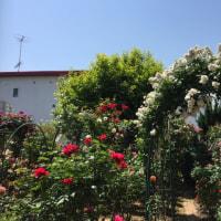 真夏日‼️  バラ真っ盛り