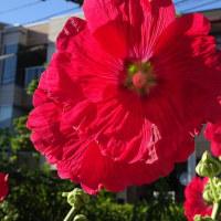 6月の花 溝口四丁目にて(2)