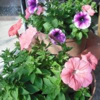 今年も種を播かねば ペチュニアの花