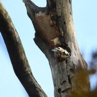 枯れ木の穴から、顔を出したアカゲラ。