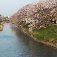 桜の花も 散り始めて~