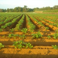 ジャガイモ畑の防除