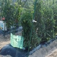 トマト畝に防鳥ネットを張る。